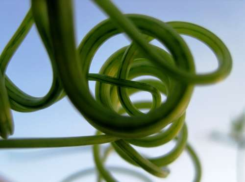 Tendrils Climber Green Curled Curved Twisted