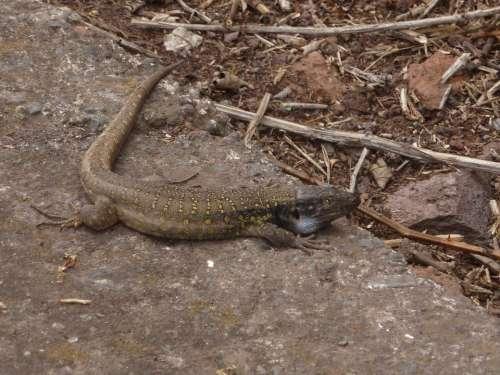 Tenerife Canary Islands Lizard Nature
