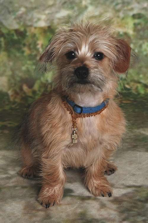 Terrier Animal Dog Nose Mammal Brown Dogs Good