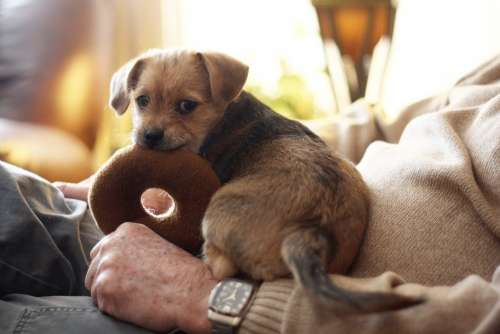 Terrier Dog Pet Animal Canine Young Adorable