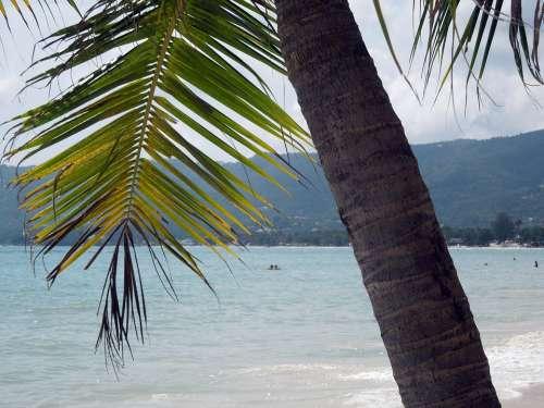 Thailand Palm Koh Samui Chaweng