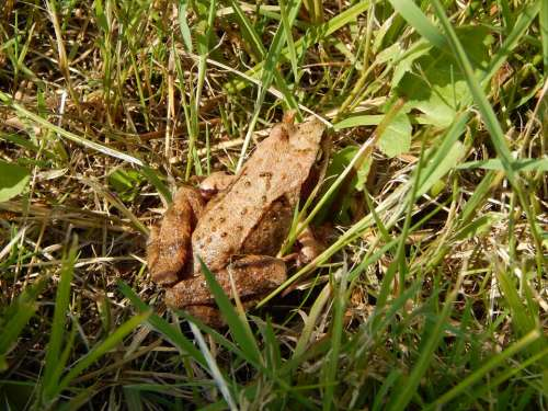 The Frog Animal Nature