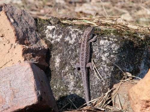 The Lizard Gray Swornegacie Animals