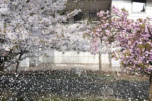 The Petals Flowers Flower Nature White