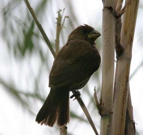 Thick-Billed Weaver Bird Grosbeak Weaver