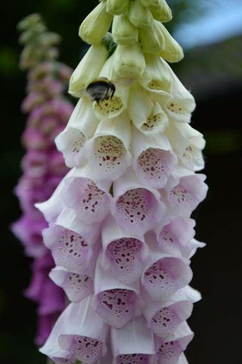 Thimble Blossom Bloom Medicinal Plant Toxic