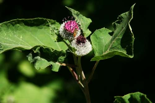Thistle Nature Flower Hoverfly Wild Flower Blossom