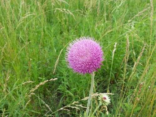 Thistle Flower Thistles Grass Summer Background