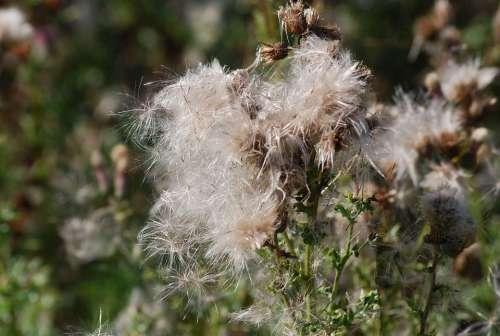Thistle Seeds Thistledown Plant Nature