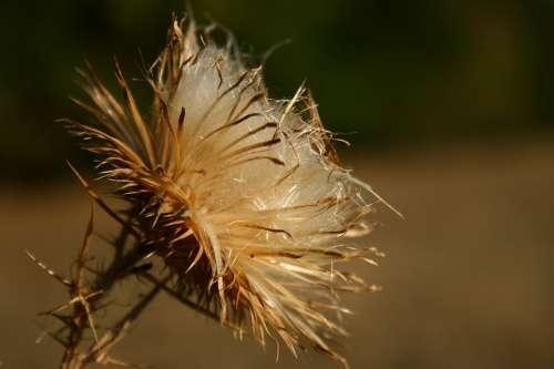 Thistle Dry Autumn Spike Fall Wildflower Macro