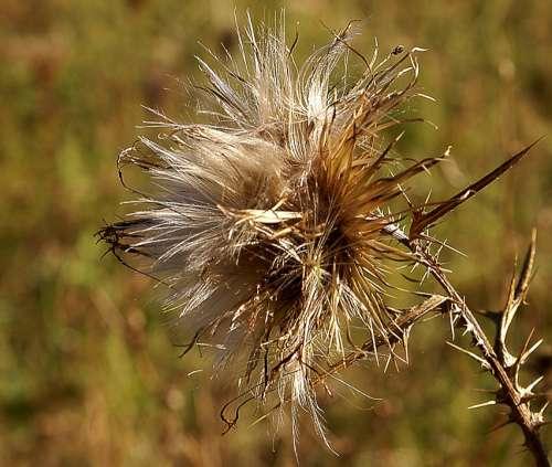 Thistle Field Plant Zeschły Thistle Plant Nature
