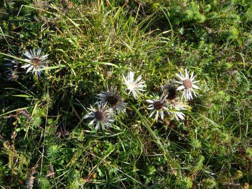 Thistle Swabian Alb Nature Flower Plant Meadow