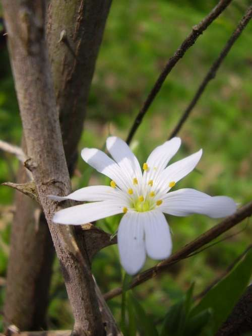 Thorn Flower Thorns And Flowers Flora White