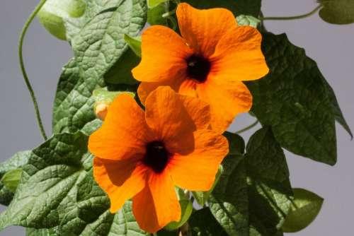 Thunbergia Alata Black Eyed Susan Orange Flowers