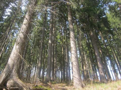 Thuringian Forest Forest Thuringia Germany Spruce