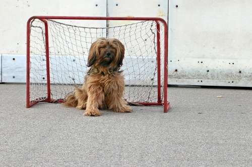Tibetan Terrier Dog Playing Field Play Game Goal