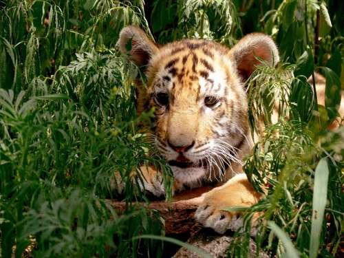 Tiger Cub Hiding Concealed Hideout Leafy Orange