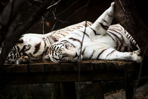 Tiger White Cat Predator Animal Wildlife Playful