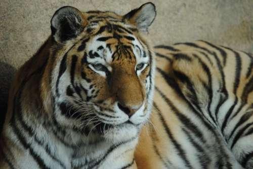 Tiger Wild Animal Zoo Wild Predator Animals