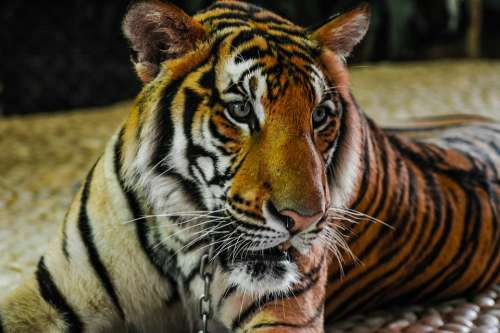 Tiger Big Cat Portrait