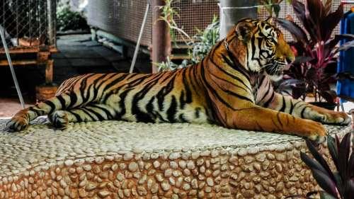 Tiger Big Cat Cat