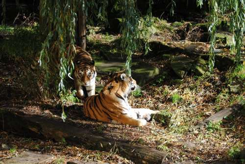 Tiger Pair Predator Big Cat Animals Wildlife