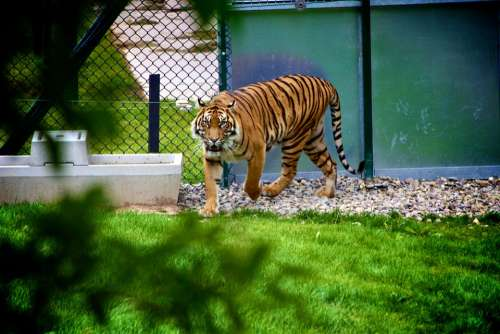 Tiger Animal Wildlife Zoo Cat Mammal Jungle