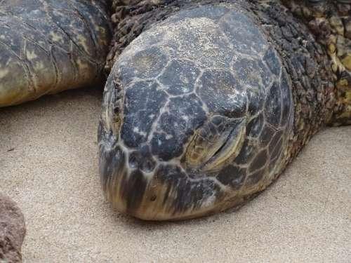 Tired Sea Turtle Animal Honu Big Iceland Hawaii