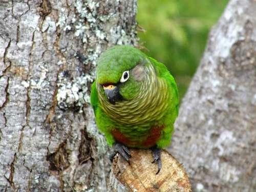 Tiriba Bird Nature