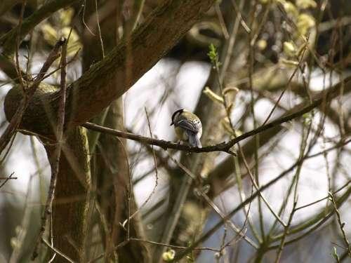 Tit Bird Nature Small Bird