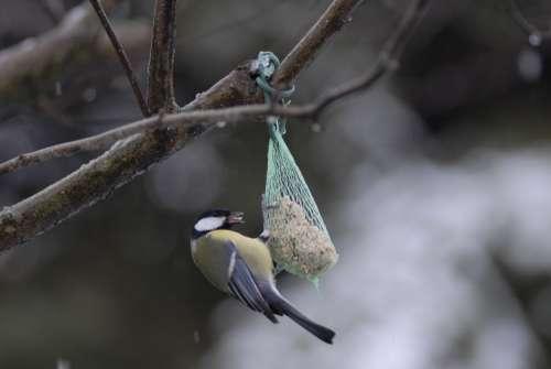 Tit Birds Nature