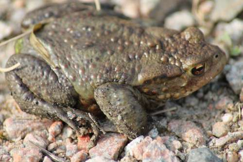 Toad Animal Amphibians Nature Stones Frog