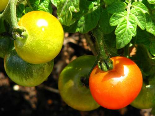 Tomato Immature Ripe Red Yellow Green Vegetables