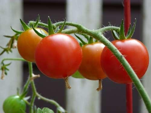 Tomatoes Garden Ripe Organic Healthy Harvest