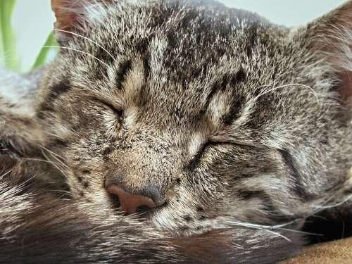 Tomcat Soot Cat Cat Face Cat Portrait Detailed