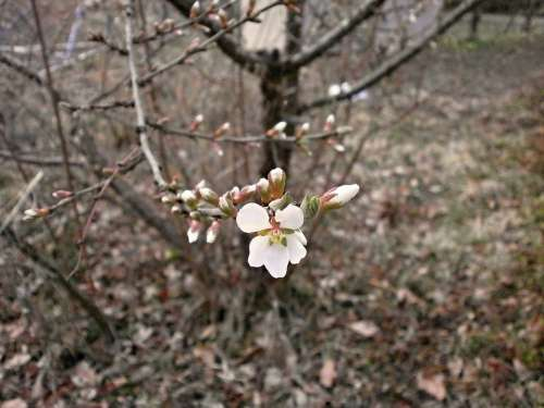 Tomentosa Cherry Blossoms Plum Spring Flowers White