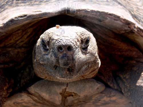Tortoise Reptile Head Close-Up Old Wrinkled Slow
