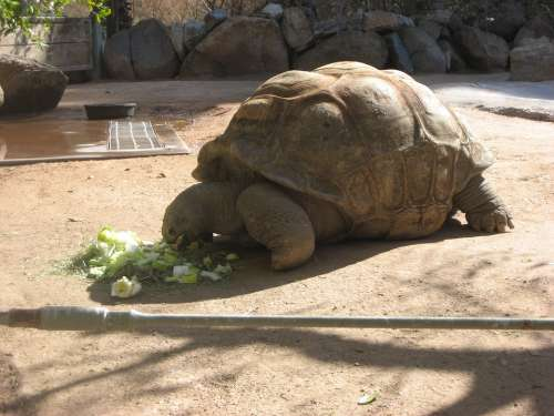Tortoise Zoo Giant Tortoise Animal Nature Turtle