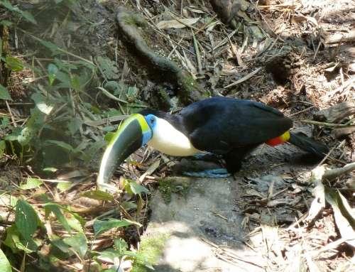 Toucan Bird Bill Beak Colorful Exotic