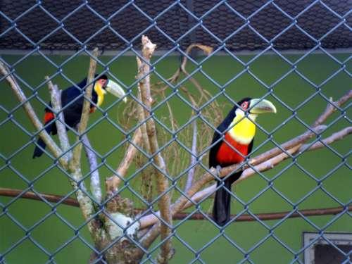 Toucans Birds Large Spout Zoo Santos Brazil