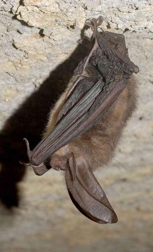 Townsendii Corynorhinus Bat Eared Big Virginia