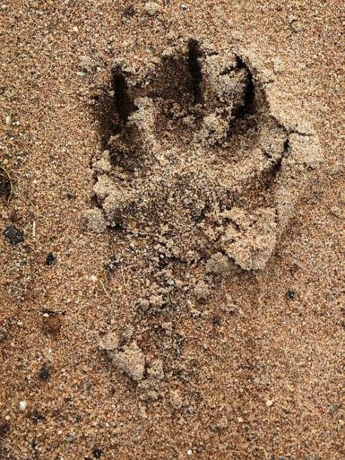 Track Dog Paw Paw Print Sand Paw Trace Reprint