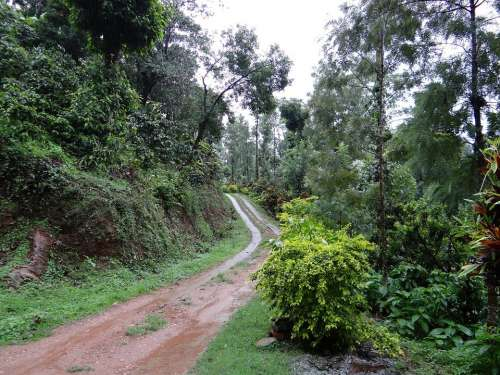 Trail Forest Coffee Plantation Coffea Robusta