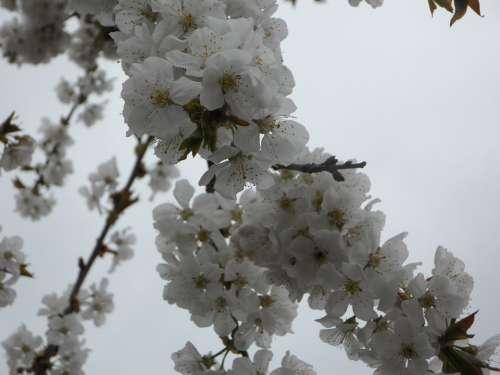 Tree Blossom Bloom Spring Blossom Bloom