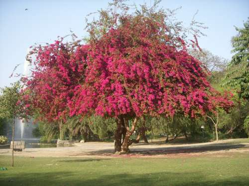 Tree Trees Bouganvilla Blossom Spring Pink Nature