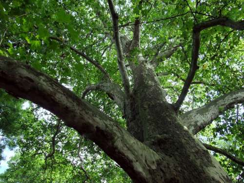 Tree Maple Leaved Plane Leaves Crown Aesthetic