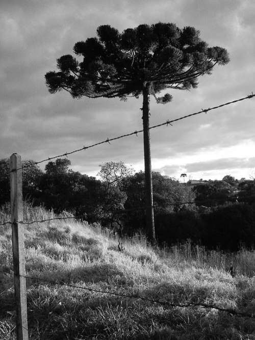 Tree Nature About Sky Araucaria