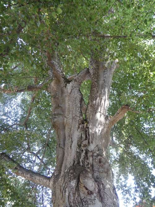 Tree Old Tribe High Gnarled