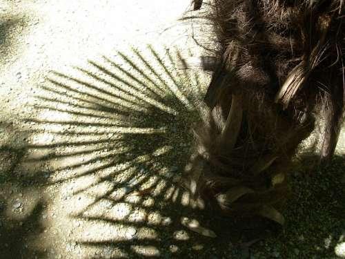 Tree Nature Shadow Palm Tree