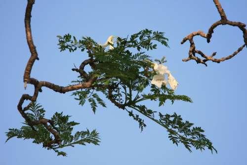 Tree Jakaranda Flower White Blooms Sky Blue